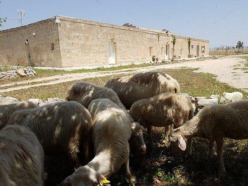 La pastorizia continua a vivere sui pascoli della murgia