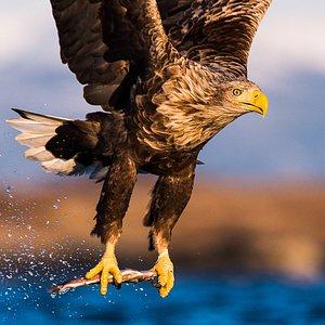 Harry the eagle