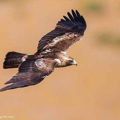 Booted Eagle flying low over Tarifa, Strait of Gibraltar