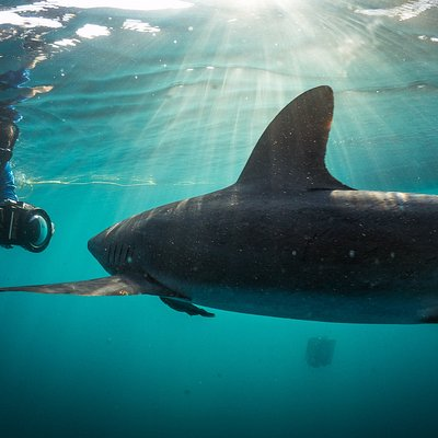 shark diving off the coast of Cabo San Lucas