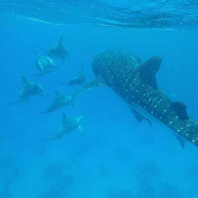 Whale shark is swimming with dolphins