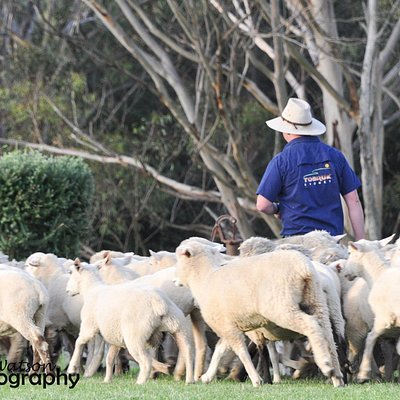 Nick, our Stockman mustering sheep