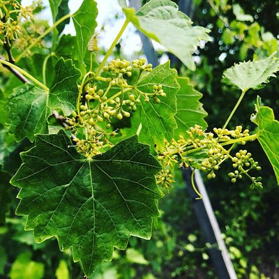 Baby Scuppernong grapes