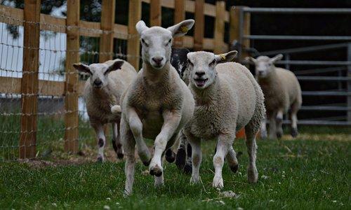 Lambs Legging it!!