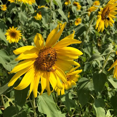 Anderson Sunflower Farm