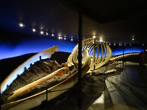 A blue whale skeleton