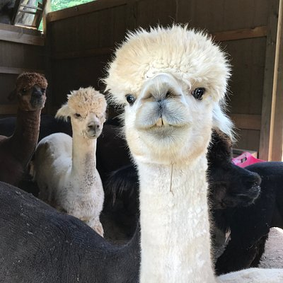 2 crows alpacas