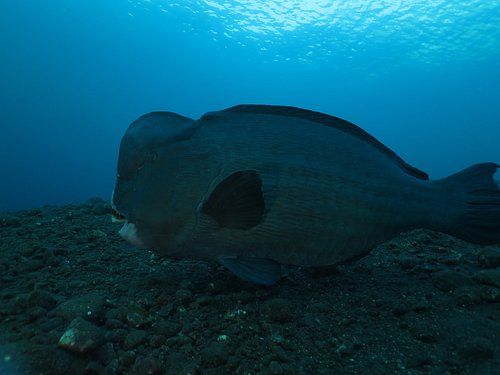 early morning dive at USAT.Liberty shipwreck with Bumphead parrot fish.