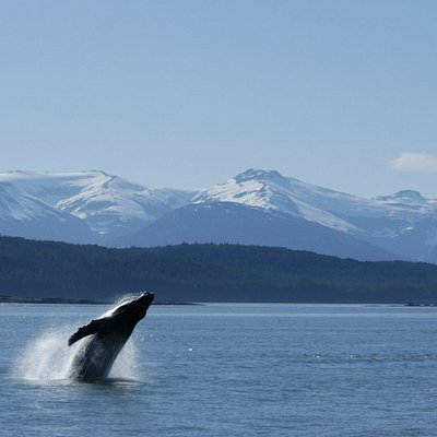 A baby whale breaches off the bow of our boat. Join us for an amazing Adventure in Alaska!