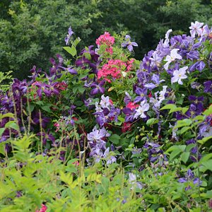 Some of the many clematis