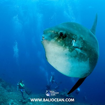 Diving with Mola Mola