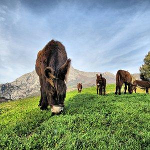 Nuestros burros en Liébana