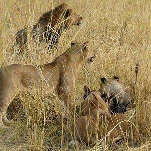 Maasai Mara, Kenya. Lions on a kill