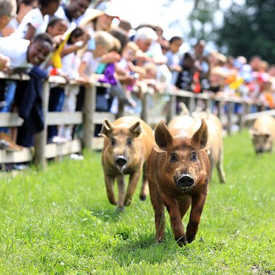 Our famous pig race happens daily