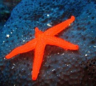 Scuba Cyprus Sea Stars