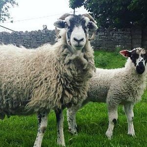 Swaledale Ewe with Masham lamb
