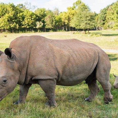 See rhino babies, born in July 2018, romping around the Watani Grasslands!