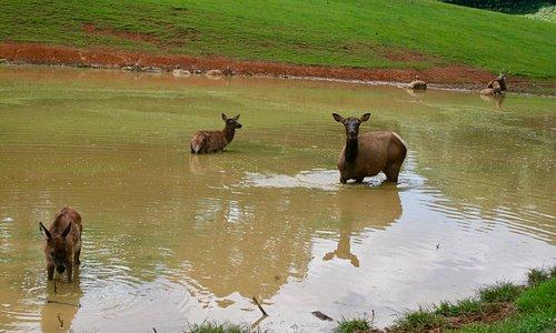 Elk in the pond