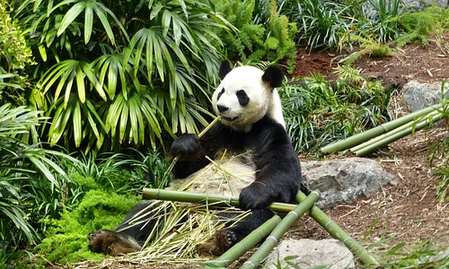This Panda is getting ready for Kung Fu