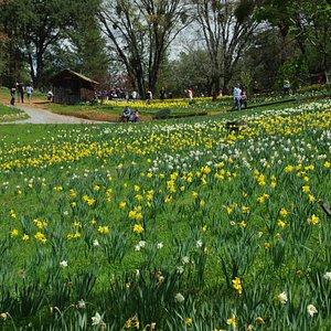 daffodil hill photo