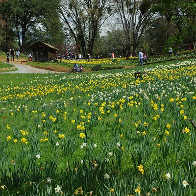 daffodil hill photo