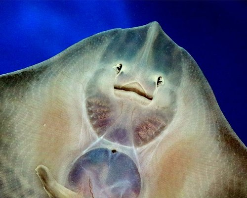 A juvenile Ray in the nursery section, see more Shark eggs in the display beside this exhibit.