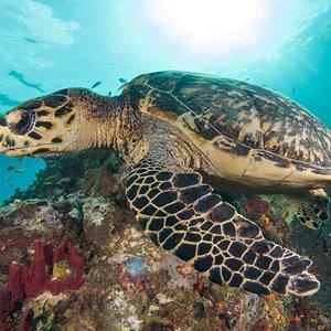 Une magnifique tortue imbriquée <3