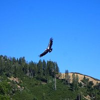 A picture of a Condor my daughter saw from camp!