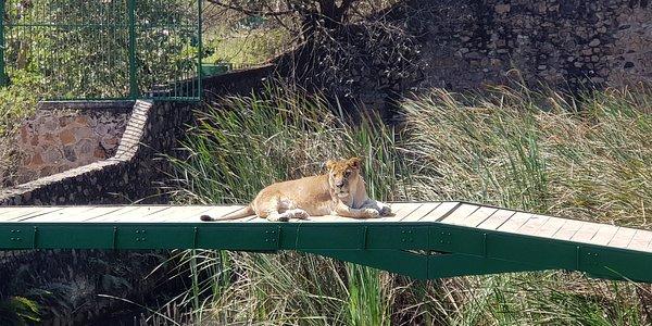 Lion se reposant