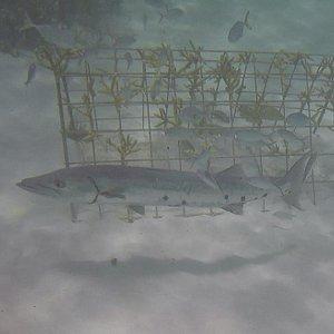 "Barracuda at ""The Aquarium"""