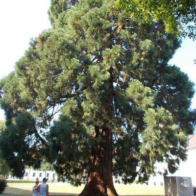 Un'enorme pino nel giardino
