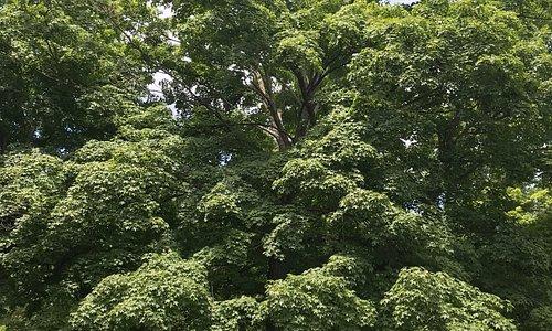 Big trees everywhere!