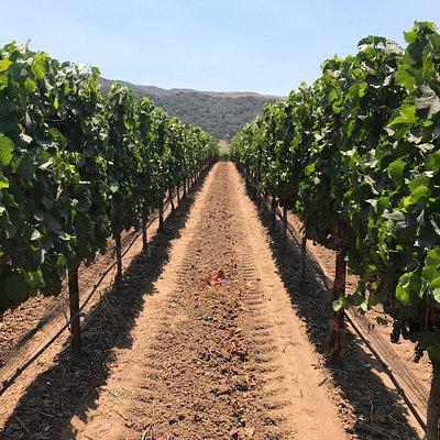 Walking through the Vineyards at Sanford Winery