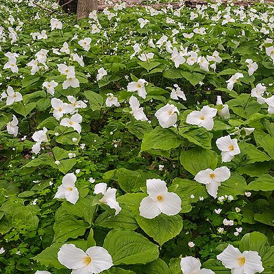 Spring woodland wildflowers like Great White Trilliums carpet the forest floor in April and May.