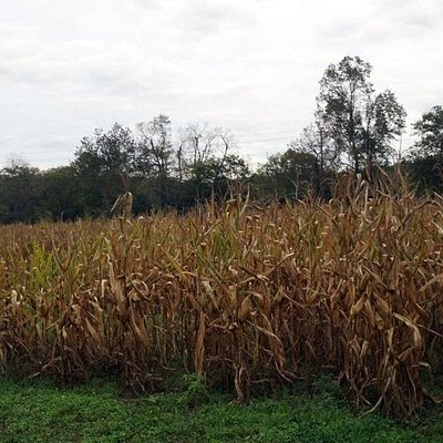 looking over the corn fields and the maze
