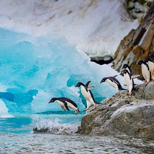 Adelie penguins jumping into Antarctic waters! (photo credit: Dave Merron)