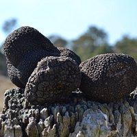 Fresh Truffles In Winter