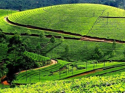 Tea Garden at Munnar