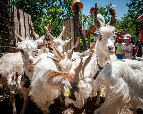 Girgentana Goats