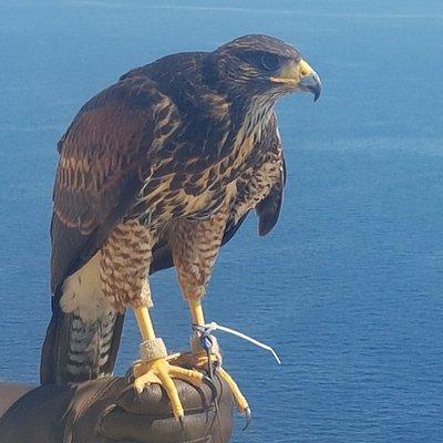 Sharp Sight Falconry