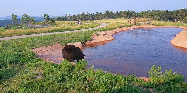 Um pobre urso bebendo