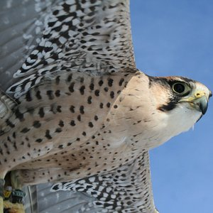 Lily, the Lanner falcon