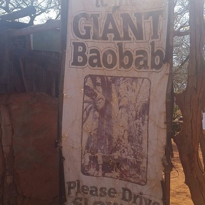 Gisnt Baobab more than 2000 Years old and still growing
