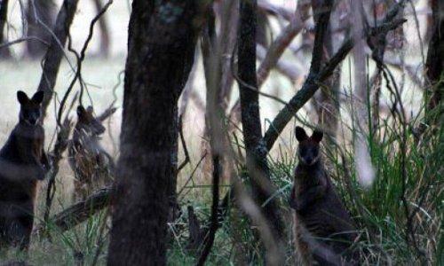F Oswin Robert Koala Reserve