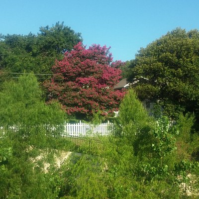 Crepe Myrtle in backyard of home adjoining the park.
