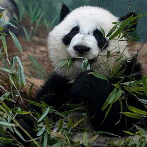 Giant panda, Xi Lun, born September 2016.