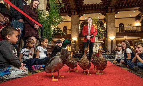Peabody Ducks with Duckmaster Anthony