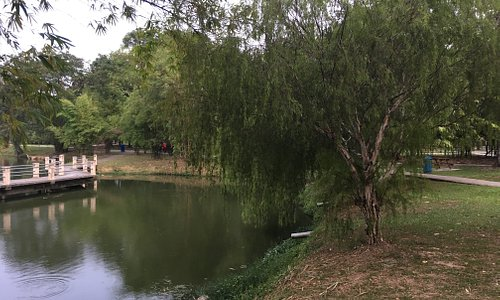 Weeping Willow drooping over the lake in Taman Jaya. Walkway on the pond seen