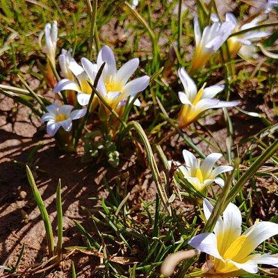 הפריחה מבעד לשלג הקר