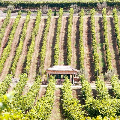 Our vineyard located in Arapaj , Durres